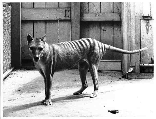 Hoe de laatste Tasmaanse buidelwolf doodvroor